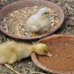 アヒルに与える餌の回数や頻度とアヒルの飼い方について!