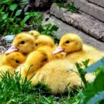 アヒルの雛と卵を購入する時の値段ほどちらが高い?有精卵の見分け方とは?