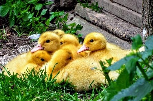 アヒル 雛 購入 値段 卵 有精卵