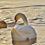白鳥とアヒルの成長過程を比較してみると、どんな違いがあるの?