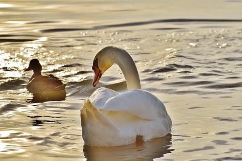 アヒル 成長 白鳥