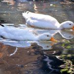 ペットとして人気のアヒルは臭いから水遊びをするのか?