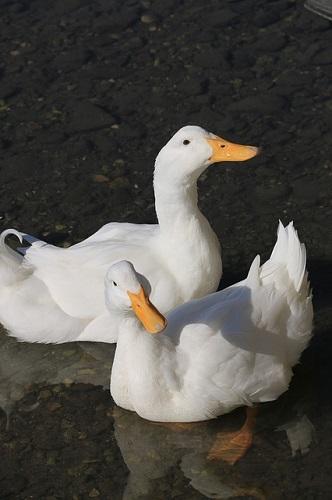 家鴨と書いてアヒル読む名前の由来とは? | アヒルの飼育と生態